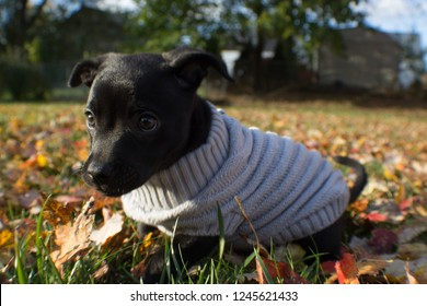 Cute young lab feist puppy in grey sweater with leaves on ground in autumn / fall