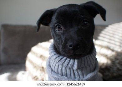 Cute young lab feist puppy in grey sweater close-up