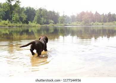 Cute young labrador puppy dog running into the water for a swim
