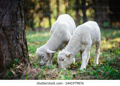 Cute young lambs on pasture