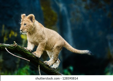 A cute young lion cub climbing on a tree branch