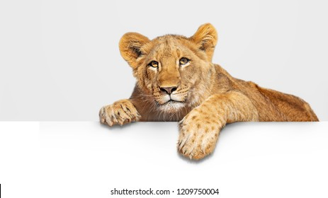 Cute young lion cub hanging paws over blank white sign or web abnner