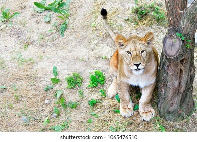 Cute young lion, sitting under a tree