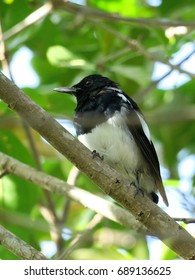 Cute Young Male Oriental Magpie Robin perched on a tree branch