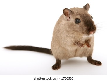 Cute young male rodent isolated on white, macro closeup, close-up with copy space