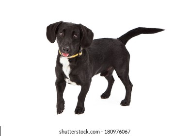 A cute young mixed small breed dog with a black coat standing and looking at the camera