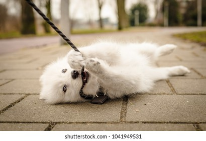 Cute, young, playful Samoyed puppy lays on the ground with her leash in her mouth, and paws grabbing the leash, looking at the camera with a happy expression and a smile