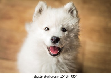 Cute, young, playful Samoyed puppy indoors looks up at the camera with a happy expression and a smile