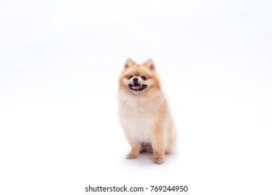 Simple Pomeranian Anime Adorable Dog - cute-young-pomeranian-dog-beautiful-260nw-769244950  Perfect Image Reference_381069  .jpg