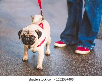 cute young pug on a red leash or lead with harness next to his owner wearing jeans and red shoes with a white trim outside on a slightly wet road. The dog has a slightly surprised expression