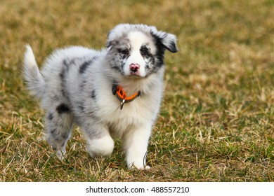 A cute young puppy of the australian shepherd.