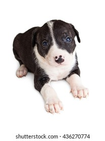 Cute young puppy with black and white fur laying on white studio background