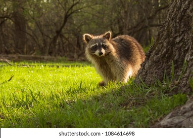Cute Young Raccoon Watching From Behind The Tree in the warm summer day at the forest