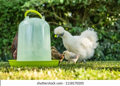 Cute young, recently hatched free-range chicks seen with one of the adult Silkie mothers by a water drinker, shown on a hot summers day in a private lawn area.