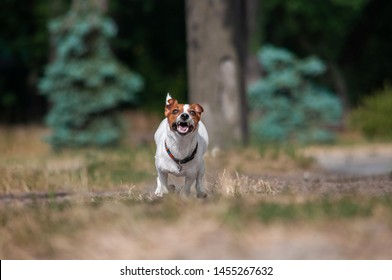 cute young red dog jack russell terrier is runnig in park