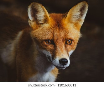 Cute young red fox portrait in summer, toned image