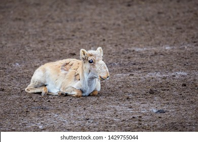 Cute young Saiga antelope or Saiga tatarica rests on ground during molting