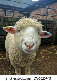Cute young sheep portrait , farmyard,petting zoo