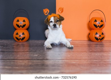 cute young small dog lying on on the wood floor with a halloween costume and decoration. Pets indoors. orange and black background