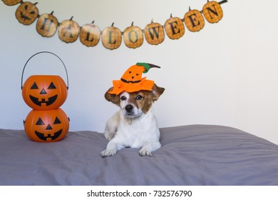 cute young small dog lying on bed with a halloween costume and decoration. Pumpkins next to him. Pets indoors.
