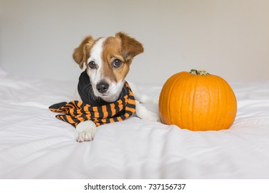 cute young small dog lying on bed with a black and orange scarf next to a pumpkin. Pets indoors.