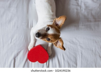 cute young small dog sitting on bed with a red heart. Valentines day Concept. Pets indoors
