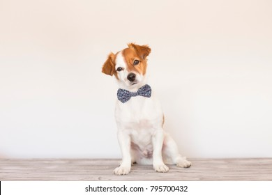 cute young small white dog wearing a modern bowtie. Sitting on the wood floor and looking at the camera.White background. Pets indoors