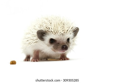 cute young speciall african pygmy hedgehog baby color chocolate white