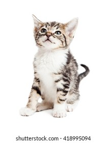 Cute young tabby kitten sitting looking up and to side. Isolated on white