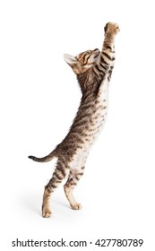 Cute young tabby kitten standing to side reaching arms up