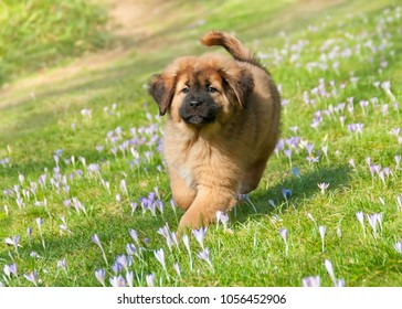 A cute young Tibetan Mastiff puppy running over a spring crocus meadow, this large guardian dog breed is also called Do-Khyi