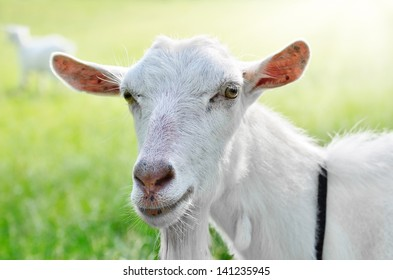Cute young white goat grazing outdoors