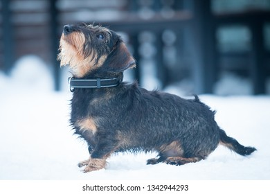 Cute and young  wire-haired miniature dachshund puppy posing for the photographer on the terrace