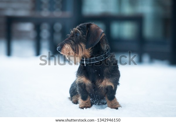 Cute and young  wire-haired miniature dachshund puppy posing for the photographer on the terrace on winter