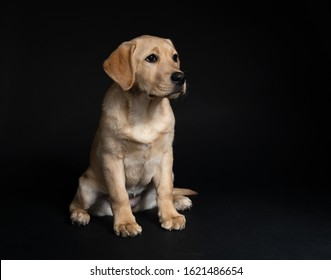 Cute young yellow lab dog sitting in studio on dark background looking away