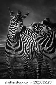 Cute zebra kissing