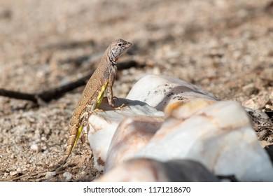 A cute zebra tail lizard in the Sonoran desert just outside of Tucson, Arizona. Summer of 2018.