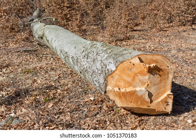 cuted beech tree trunk with in forest