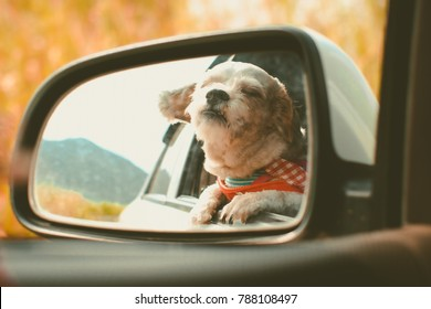 Cutely white short hair Shih tzu dog in car mirror looking out of window during travel trip, added colour filter and vintage style