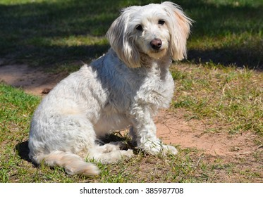 Cutest fluff Maltipoo Havanese mix