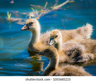 The cutest fluffiest chicks swimming in the shallow waters at lake Hornborgasjön in Sweden 05/26/7