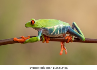 The cutest frog in the world. Red eyed tree frog. Amazing, lovely, smiley, funny.  Native in rain forest, excellent jumper, red eye staring at predator, surprise.