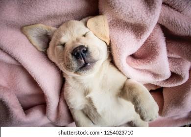 Imágenes, fotos de stock y vectores sobre Labrador Funny