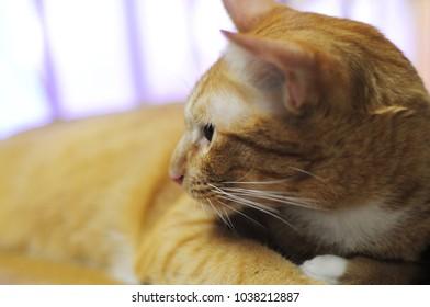 Cutie Ginger Tabby cat