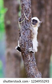 CUTIE PIE - Gray langurs or Hanuman langurs, the most widespread langurs of the Indian Subcontinent.  Photographed this at Kanha National Park during June 2017