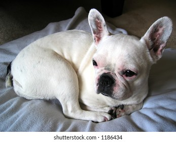 Cutie -Sheila the French Bulldog
