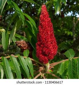 Cut-leaf staghorn sumac or velvet sumac (Rhus Typhina, Dissecta)