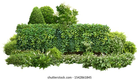 Cutout green hedge with flower bed. 				Garden design isolated on white background. Flowering shrub and green plants for landscaping. Decorative shrub and boxwood hedge. High quality clipping mask.