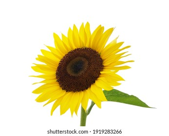 A cutout photo of a single sunflower on a white background.