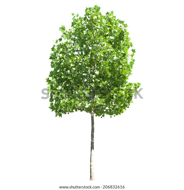 cutout platanus sycamore on white background